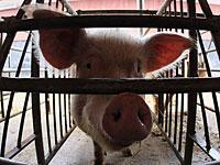 Ученые США возродили мозг свиньи через 4 часа после смерти