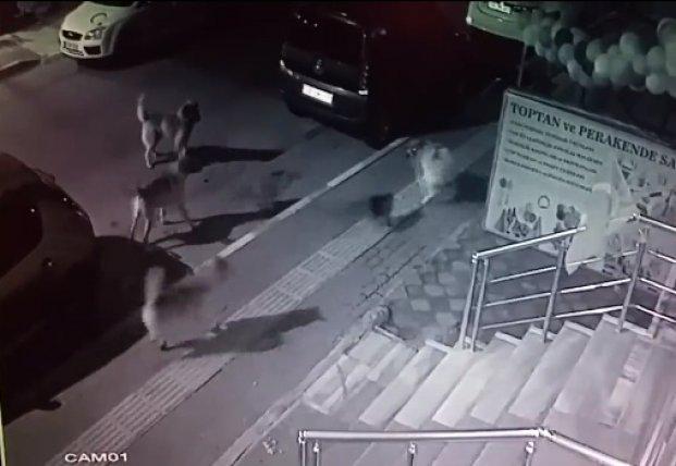 Смелая кошка повергла в бегство стаю собак (видео)