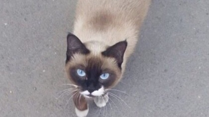 Кемеровчанка попросила помочь отчаявшейся сиамской кошке