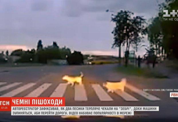Собаки показали, как нужно переходить дорогу (видео)