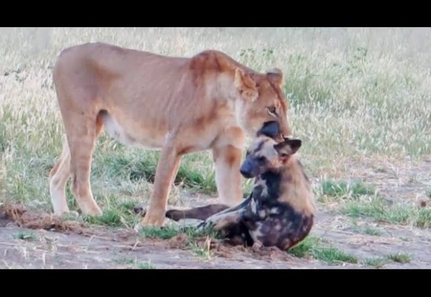 Гиена обманула львицу, притворившись мертвой (видео)