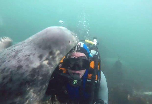 Тюлень попытался отнять у аквалангиста маску (видео)