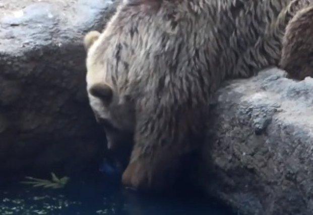 Медведь спас ворону из пруда (видео)