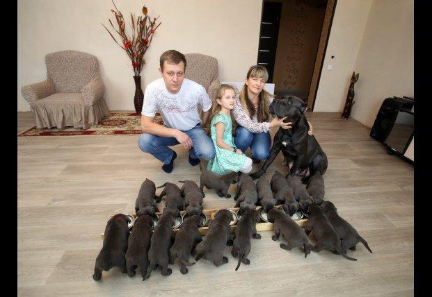 Собака породы Кане-Корсо родила 19 щенков (видео)