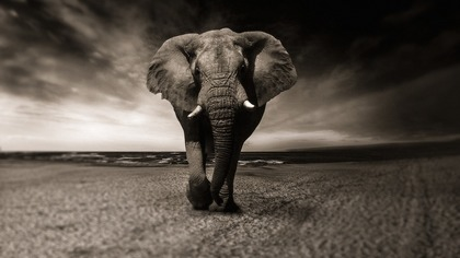 Слон атаковал сотрудника зоопарка в Канаде