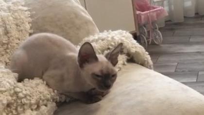 Кемеровчанка попросила помощи в поисках породистого кота