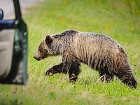 В США медведь