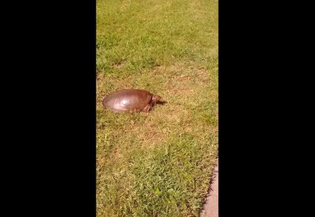 Молниеносная черепаха озадачила Сеть (видео)