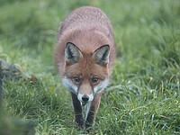 В работе аэропорта Пулково произошел сбой из-за лисы