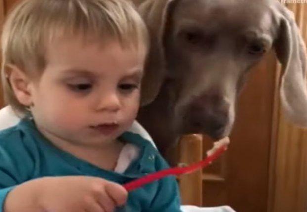 Наглая собака пользуется неловкостью малыша (видео)