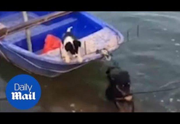 Ротвейлер спас свою подругу, испытывающую страх перед водой (видео)