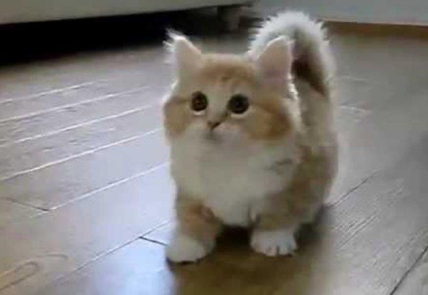 Милые карлики: самые маленькие породы кошек в мире (видео)