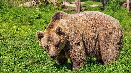 Около 70 голодных медведей заняли туристическую тропу на Камчатке