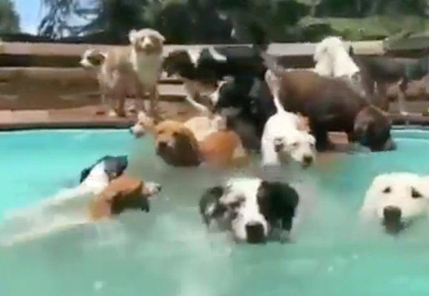 Свора собак решила заняться аква-аэробикой: бегут наперегонки (видео)