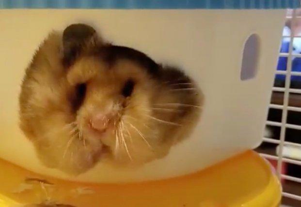 Жадному хомяку щеки мешают просунуться в домик (видео)