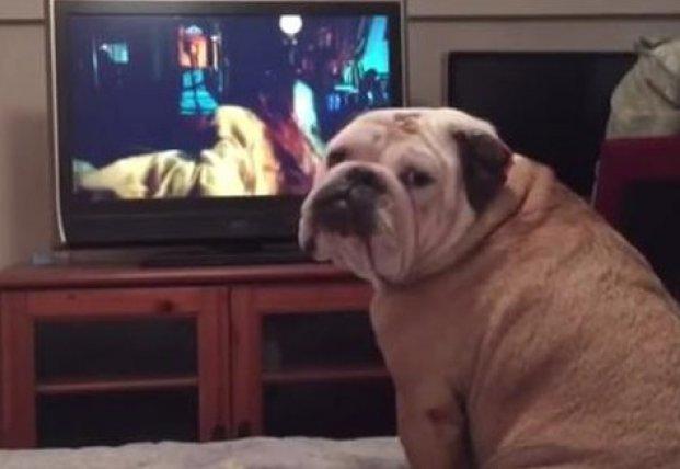 Бульдог очень переживал за маленькую героиню фильма ужасов (видео)