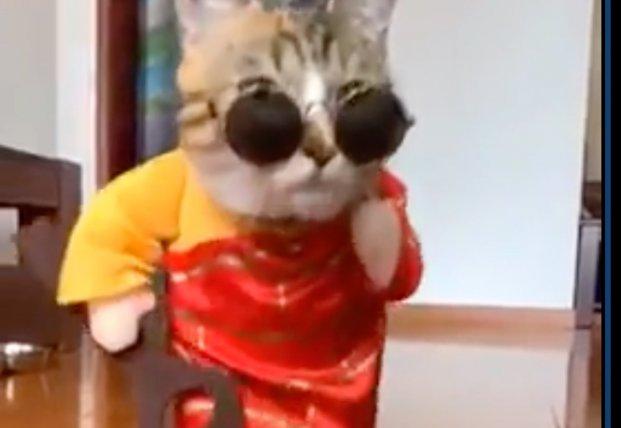 Кошка на подиуме устроила показ модной одежды (видео)