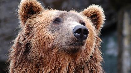 Минприроды Забайкалья рекомендовало поднять руки вверх при встрече с медведем