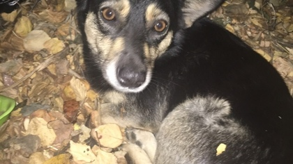Кемеровчанка хочет найти хозяина для потерявшейся собаки