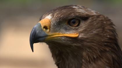 Орнитологи РФ задолжали 240 тыс. рублей за роуминг из-за степного орла
