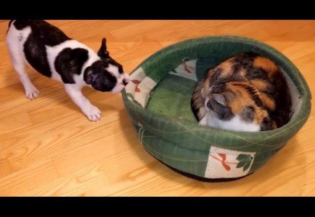 Сеть насмешил мопс, который с боем отвоевывал у кота лежанку (видео)
