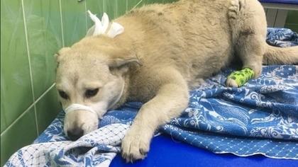 Кемеровчанин выкинул в лесу сбитую собаку вопреки обещанию помочь