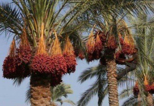 В Израиле вырастили вымершие финиковые пальмы из семян возрастом 2 тысячи лет