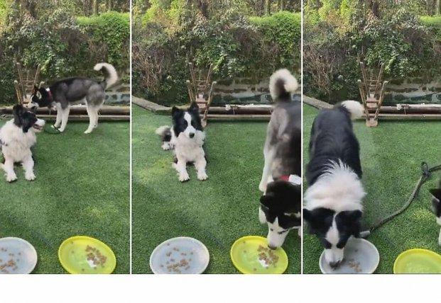 Догадливый пёс устранил препятствия, чтобы дотянуться до миски с едой (видео)