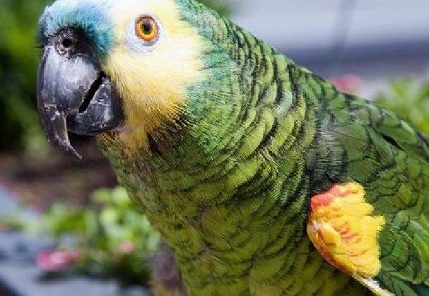 В сети смеются над попугаем, который решил почистить зубы коту (видео)