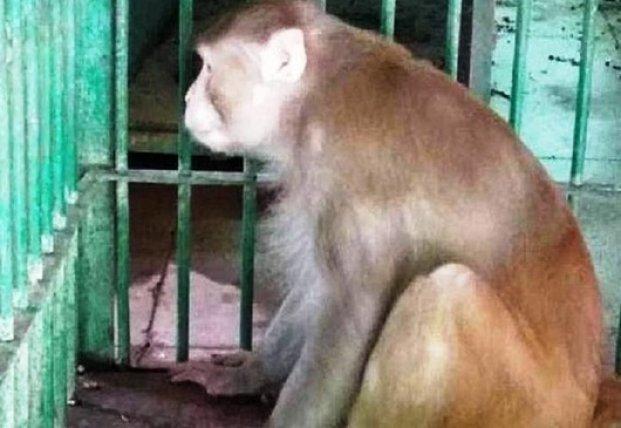 Оставшаяся без алкоголя обезьяна убила человека