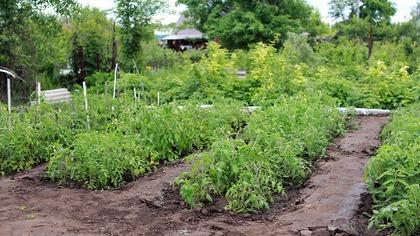Житель Междуреченска выращивал наркосодержащие растение на своем участке