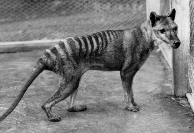 Ученые развеяли популярный миф о тасманийских волках