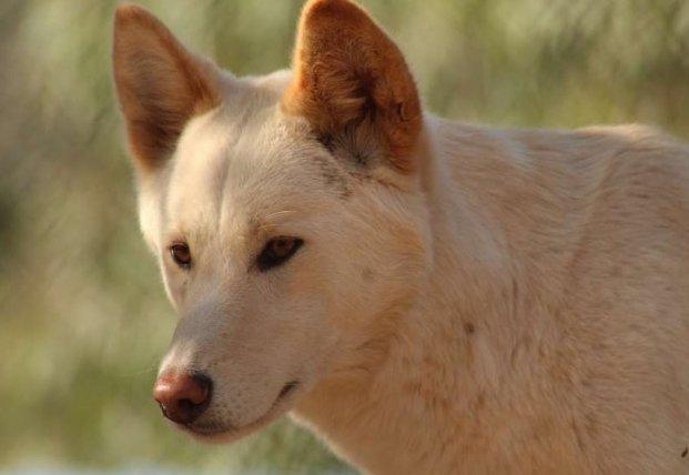Ученые обнаружили в Новой Гвинее поющих собак