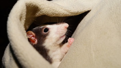 Обнаружившая мины крыса получила высшую награду Великобритании