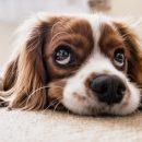 Кузбассовцы ищут хозяев для пушистого бездомного пса