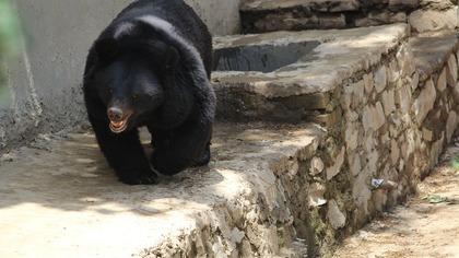 Медведь растерзал жену на глазах спасшегося на дереве мужа в Индии