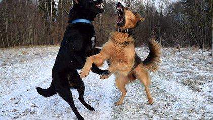 Агрессивные собаки заполонили двор в Кемерове