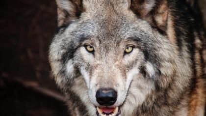 Собака спасла ребенка от волка ценой своей жизни в Коми