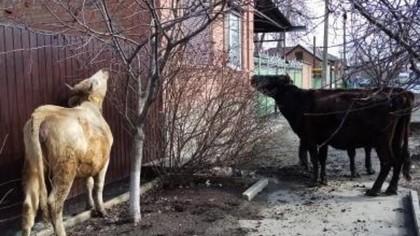 Три голодные коровы терроризируют жителей Ростовской области