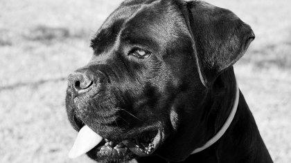 Удушение ребенка бойцовскими собаками в Подмосковье привело к уголовному делу